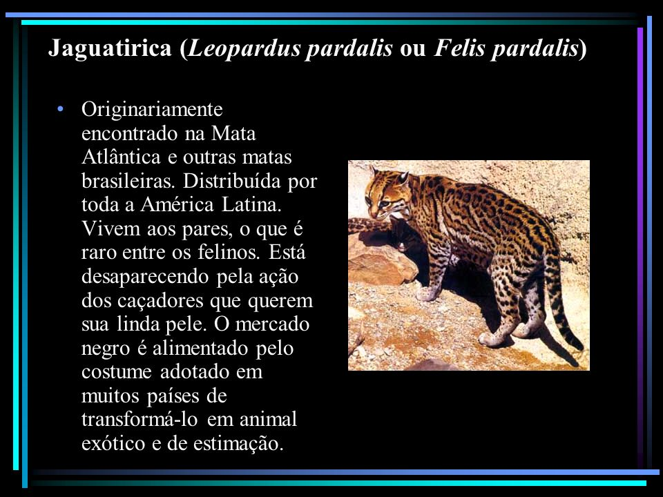 Jaguatirica (Leopardus pardalis ou Felis pardalis)