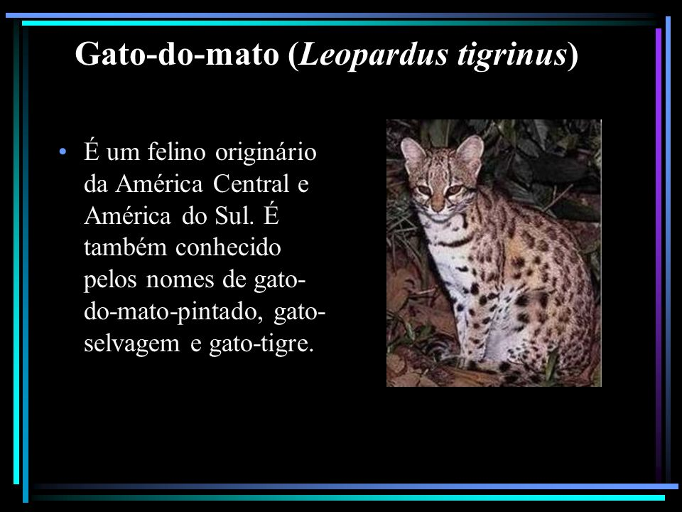 Gato-do-mato (Leopardus tigrinus)