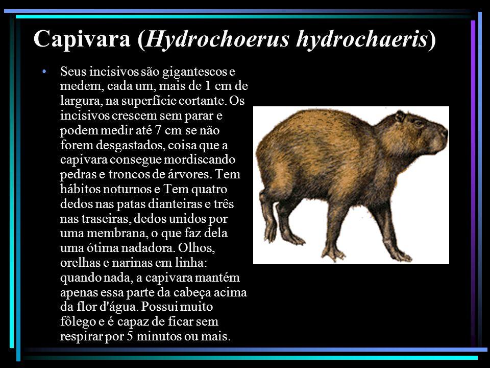 Capivara (Hydrochoerus hydrochaeris)
