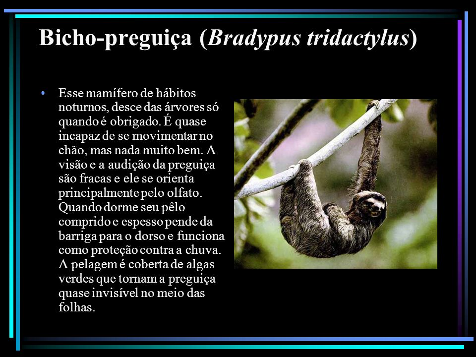 Bicho-preguiça (Bradypus tridactylus)