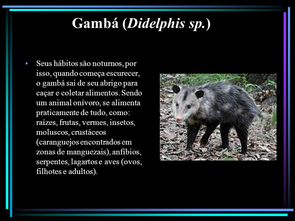 Gambá (Didelphis sp.)