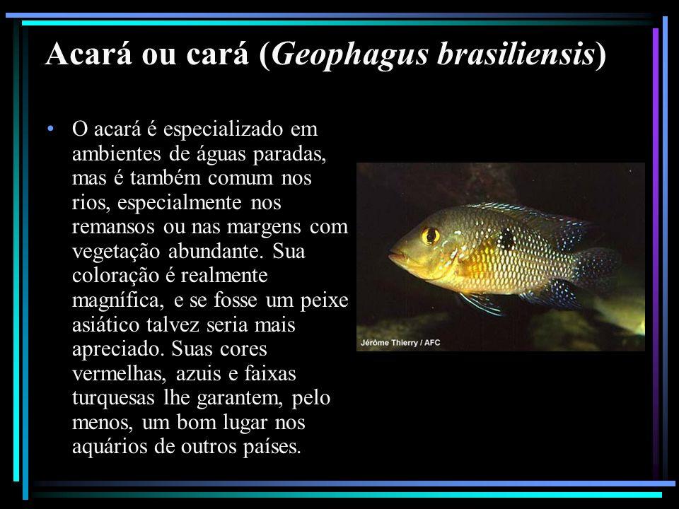 Acará ou cará (Geophagus brasiliensis)