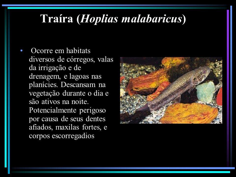 Traíra (Hoplias malabaricus)