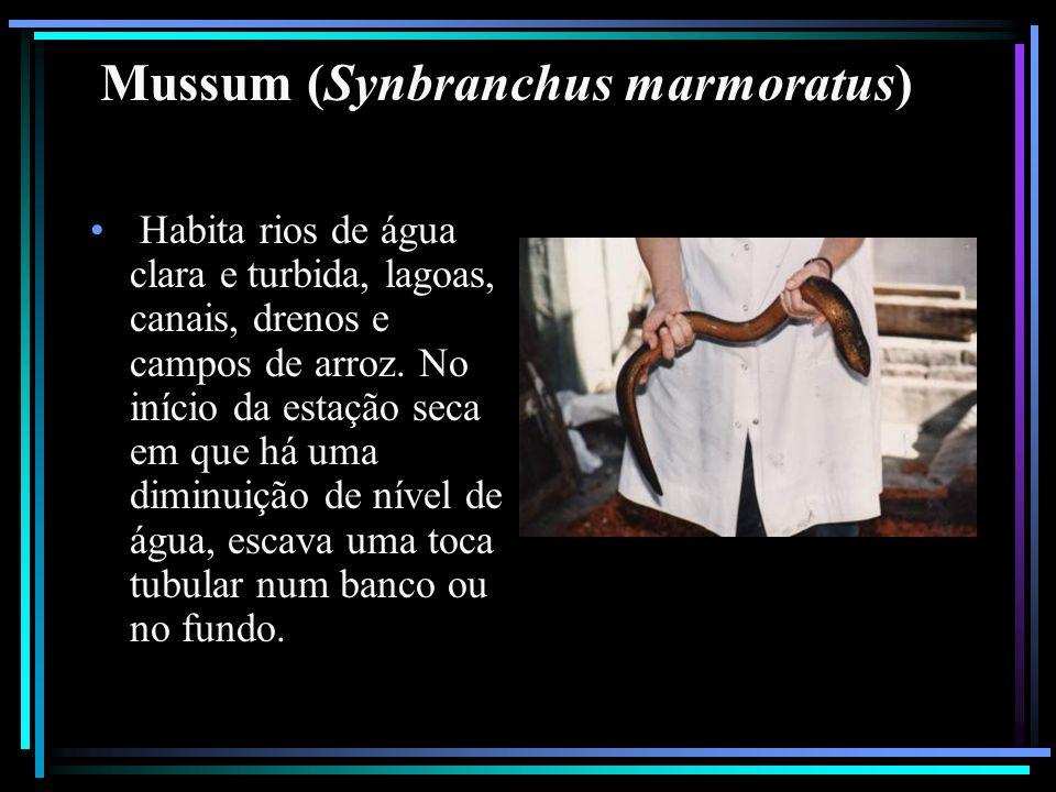 Mussum (Synbranchus marmoratus)