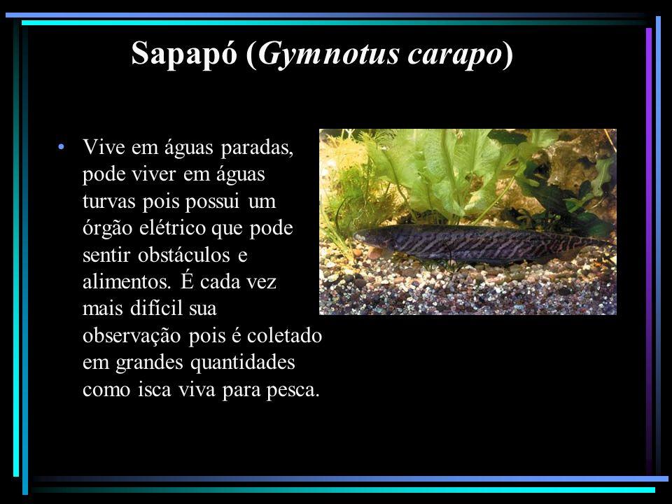 Sapapó (Gymnotus carapo)