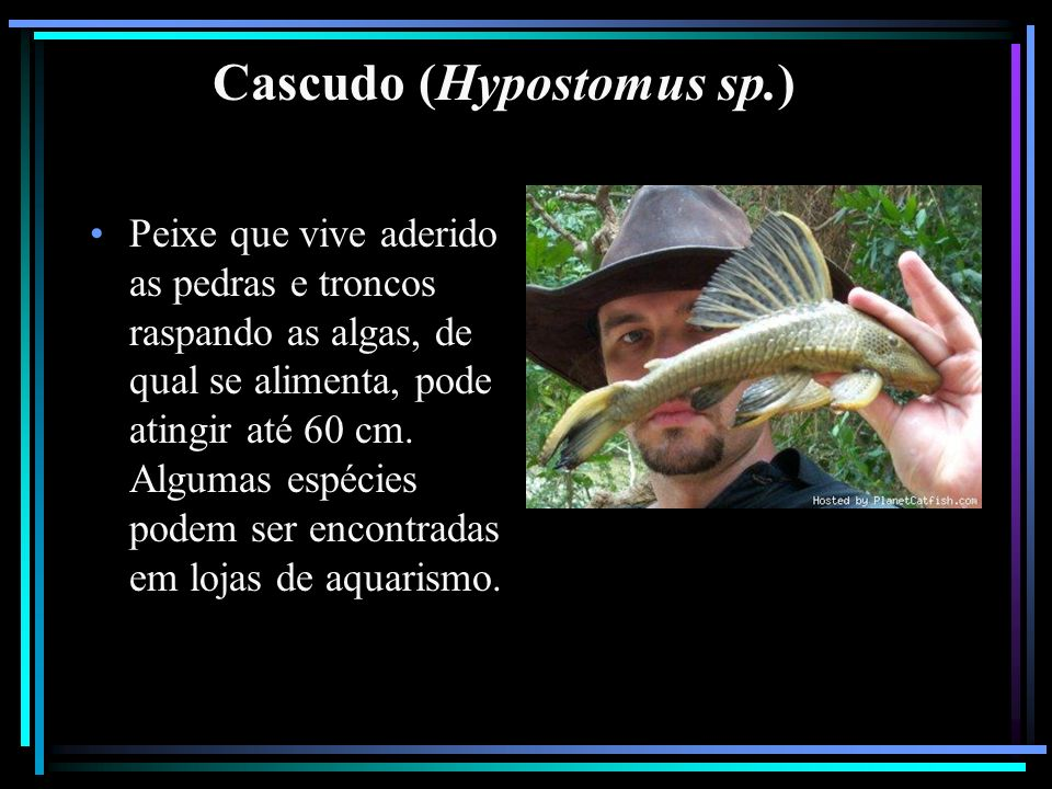 Cascudo (Hypostomus sp.)