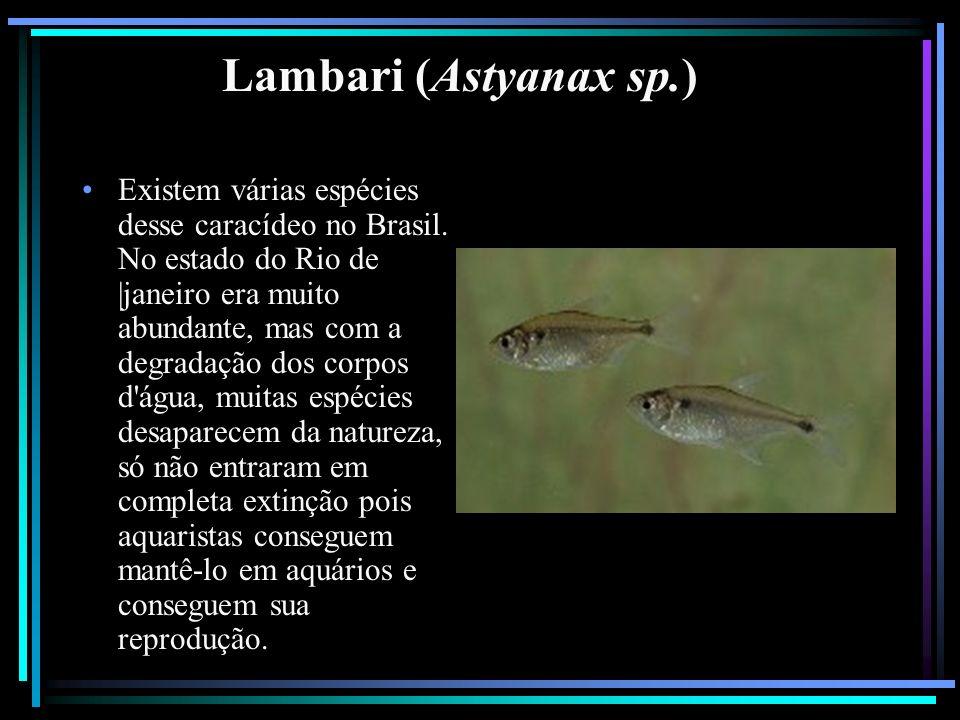 Lambari (Astyanax sp.)