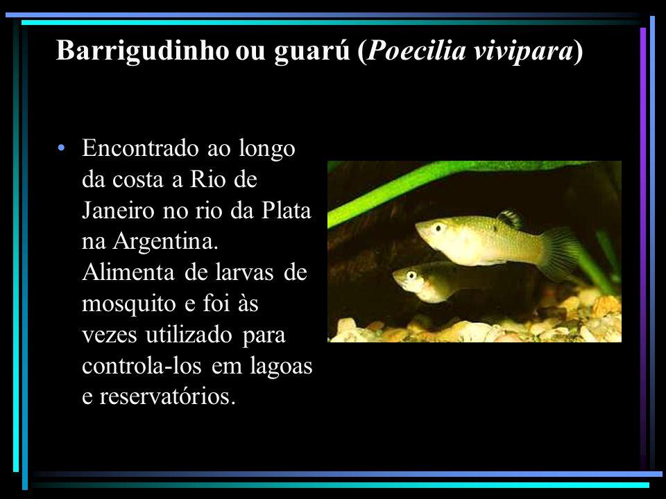 Barrigudinho ou guarú (Poecilia vivipara)