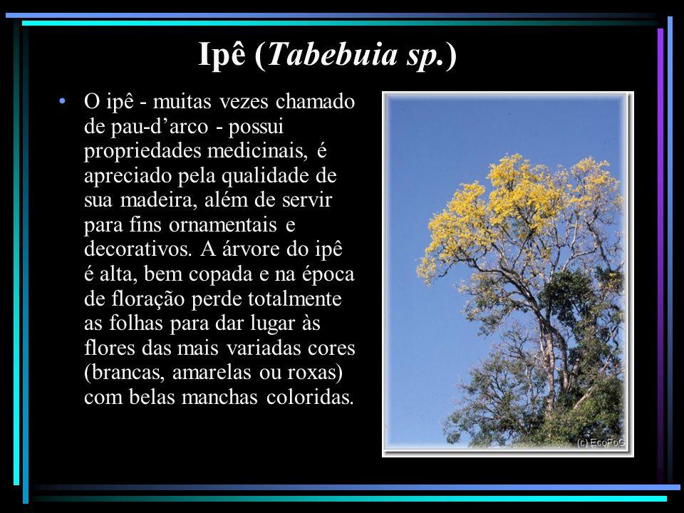 Ipê (Tabebuia sp.)