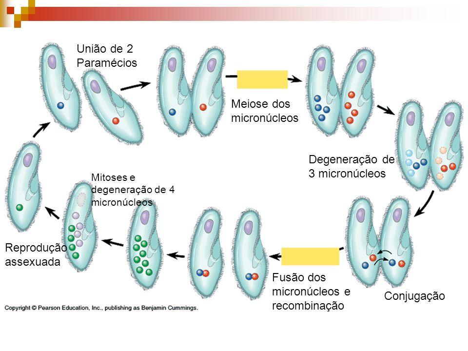Meiose dos micronúcleos