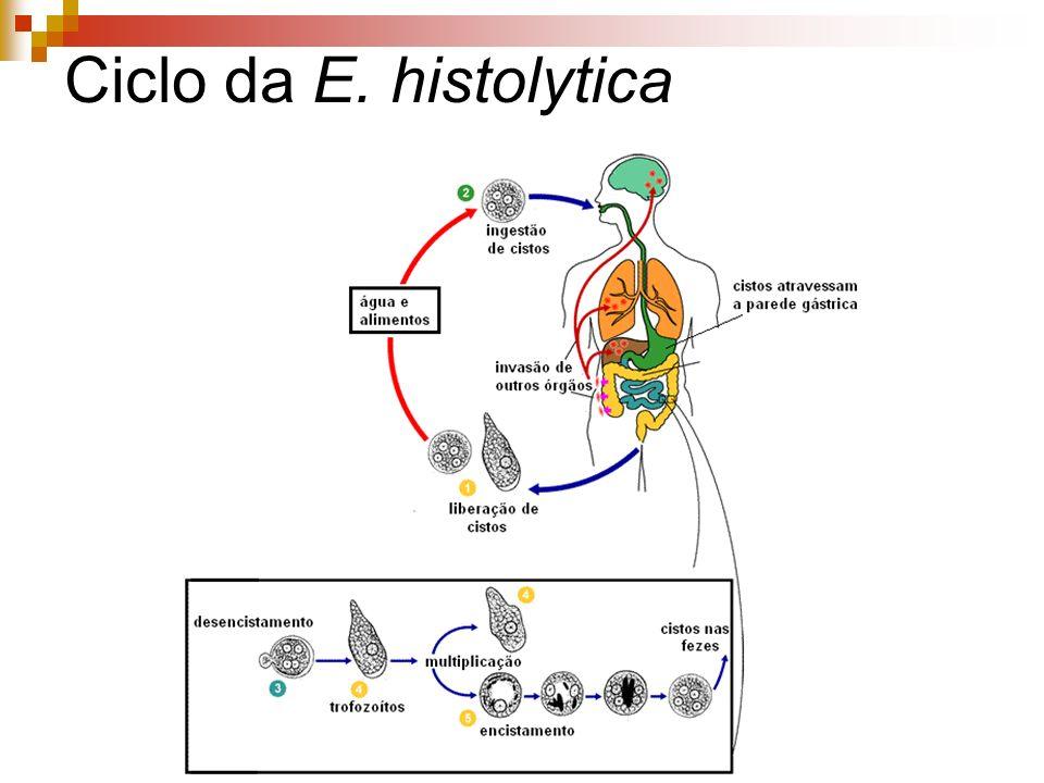 Ciclo da E. histolytica