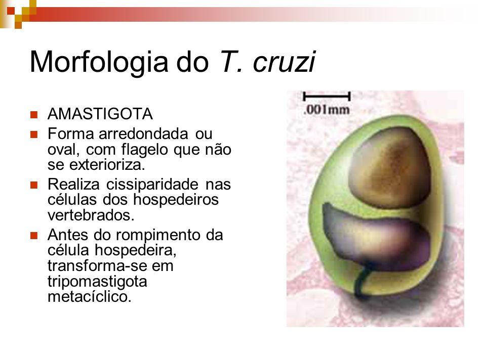 Morfologia do T. cruzi AMASTIGOTA
