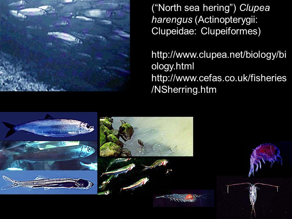 ( North sea hering ) Clupea harengus (Actinopterygii: Clupeidae: Clupeiformes)