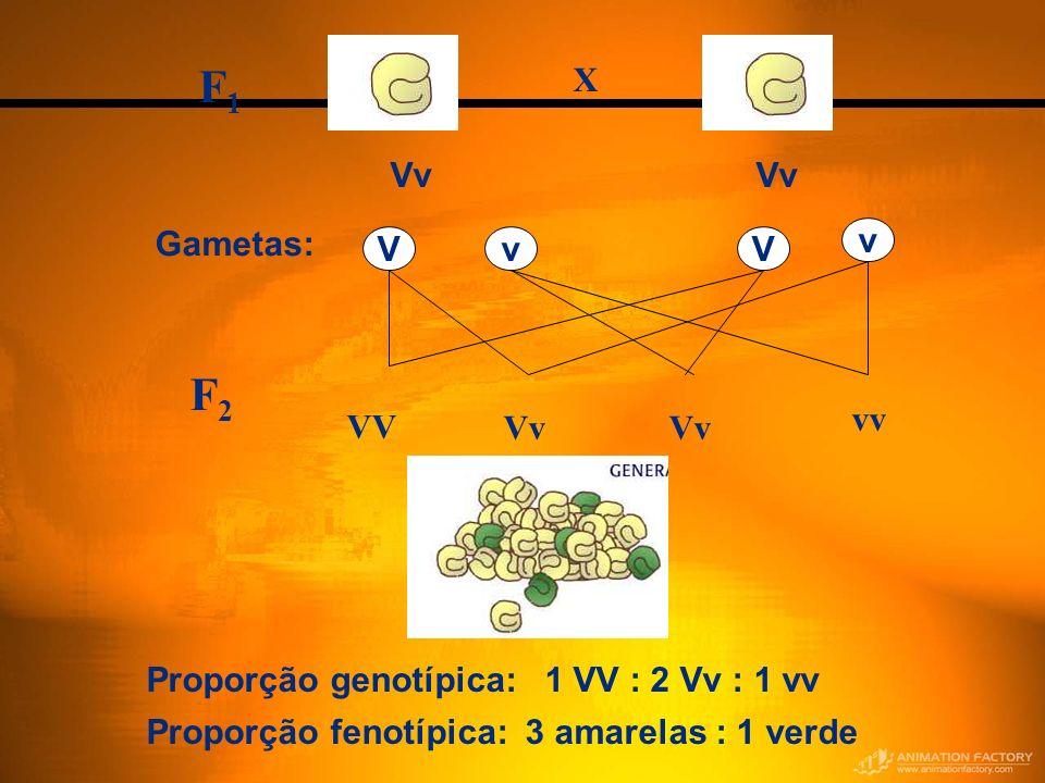 F1 F2 Vv X Gametas: v V Vv vv VV Vv
