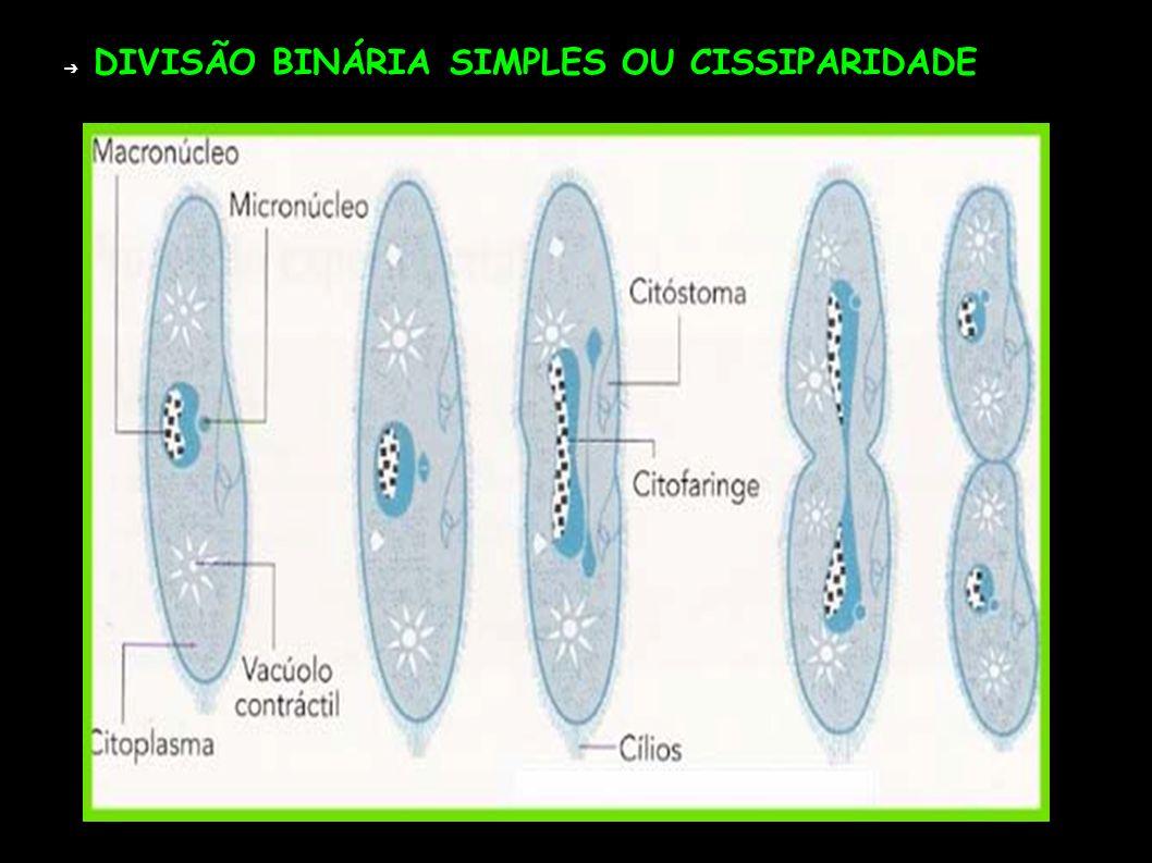 DIVISÃO BINÁRIA SIMPLES OU CISSIPARIDADE