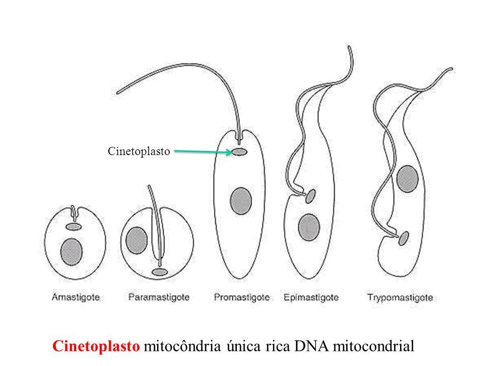 Cinetoplasto mitocôndria única rica DNA mitocondrial