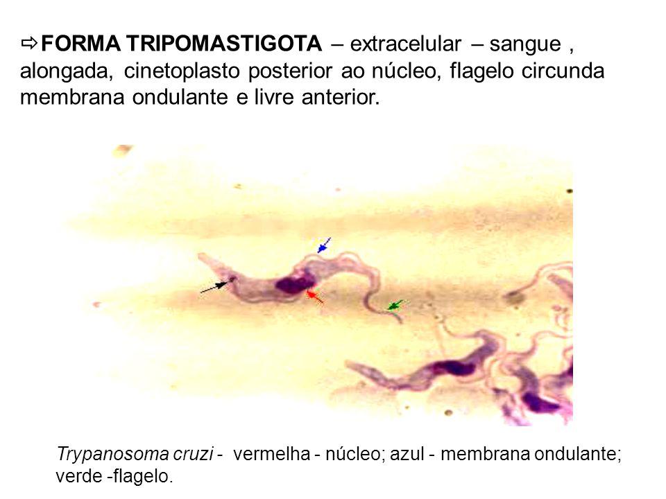 FORMA TRIPOMASTIGOTA – extracelular – sangue , alongada, cinetoplasto posterior ao núcleo, flagelo circunda membrana ondulante e livre anterior.