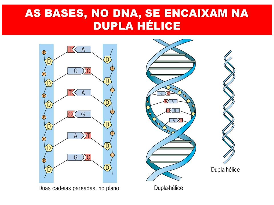 AS BASES, NO DNA, SE ENCAIXAM NA DUPLA HÉLICE