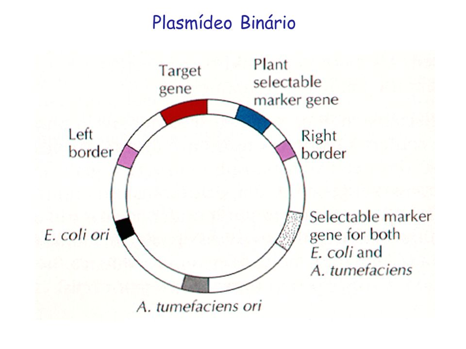 Plasmídeo Binário