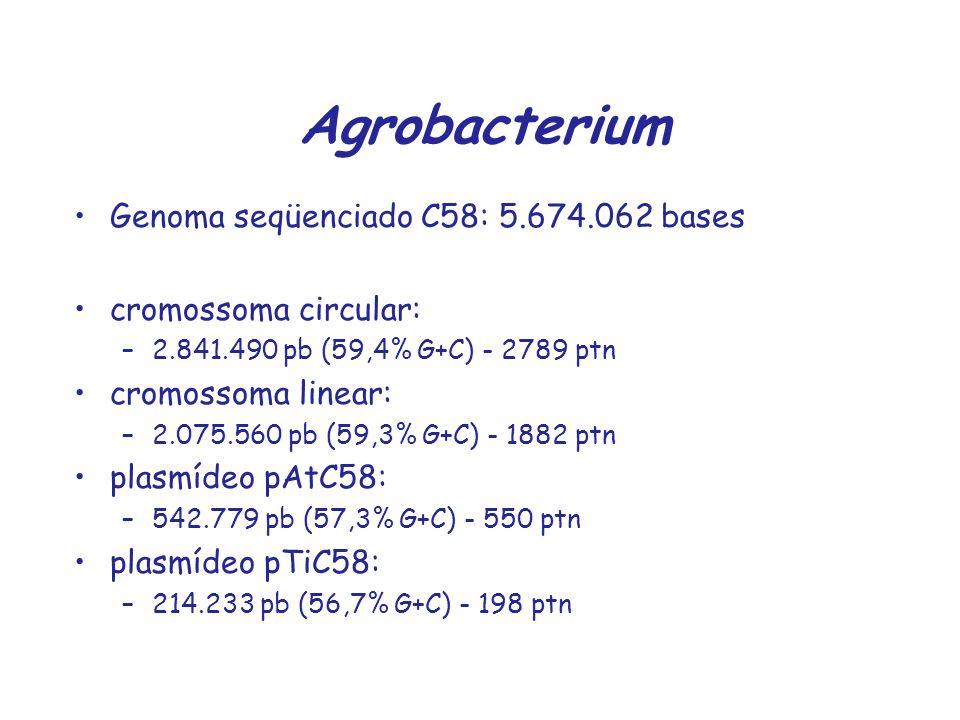 Agrobacterium Genoma seqüenciado C58: 5.674.062 bases