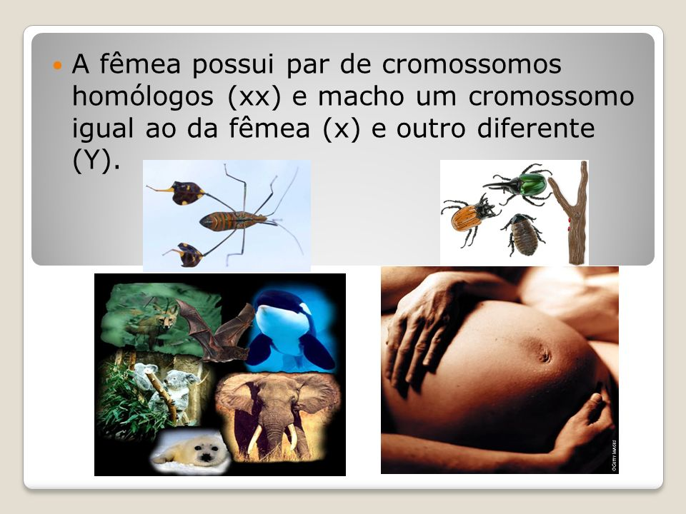 A fêmea possui par de cromossomos homólogos (xx) e macho um cromossomo igual ao da fêmea (x) e outro diferente (Y).