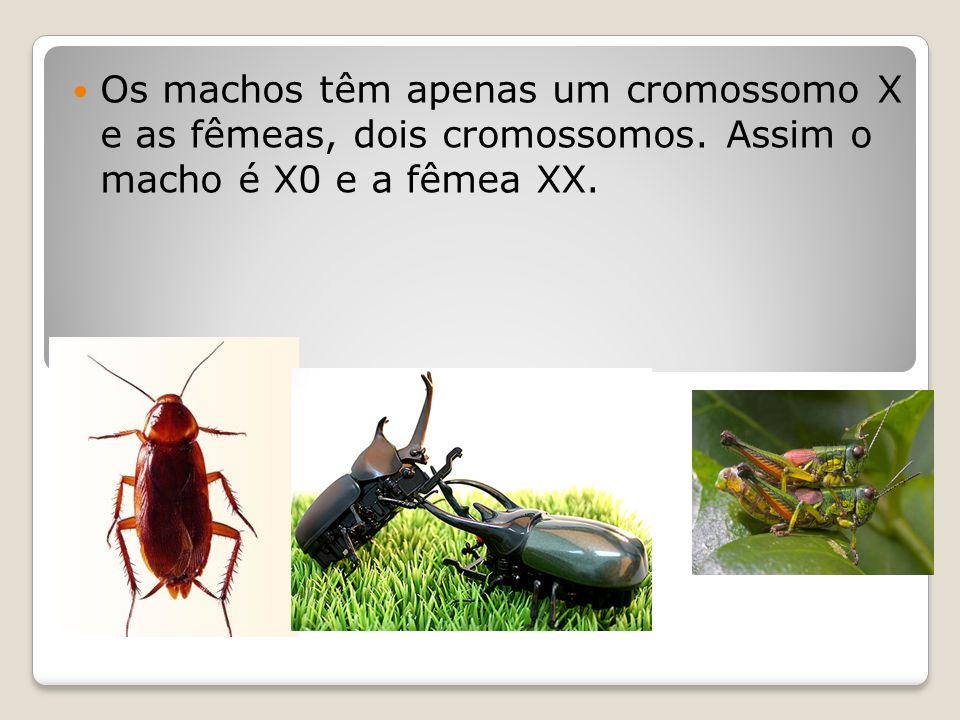 Os machos têm apenas um cromossomo X e as fêmeas, dois cromossomos