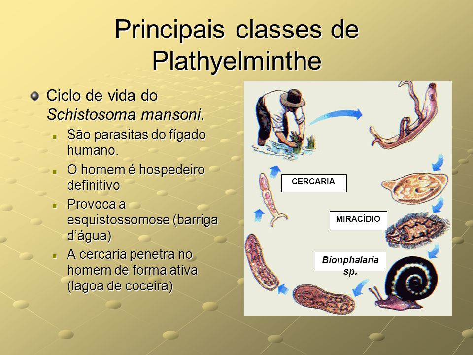 Principais classes de Plathyelminthe