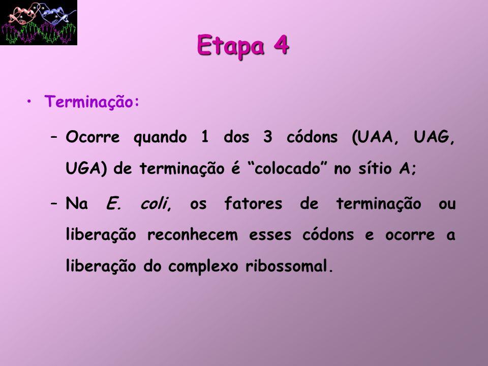 Etapa 4Terminação: Ocorre quando 1 dos 3 códons (UAA, UAG, UGA) de terminação é colocado no sítio A;
