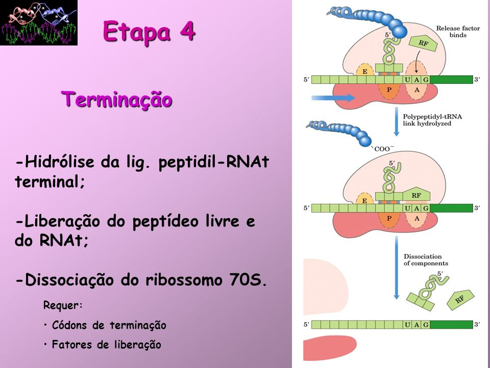 Etapa 4 Terminação -Hidrólise da lig. peptidil-RNAt terminal;