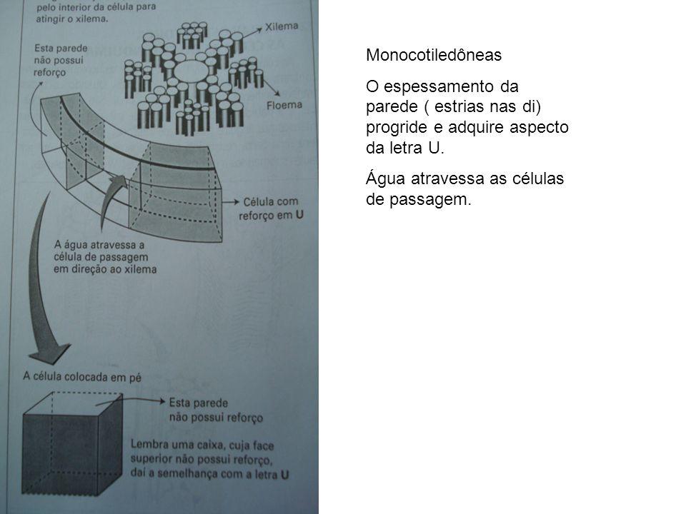 Monocotiledôneas O espessamento da parede ( estrias nas di) progride e adquire aspecto da letra U.