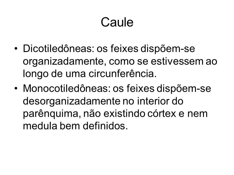 Caule Dicotiledôneas: os feixes dispõem-se organizadamente, como se estivessem ao longo de uma circunferência.