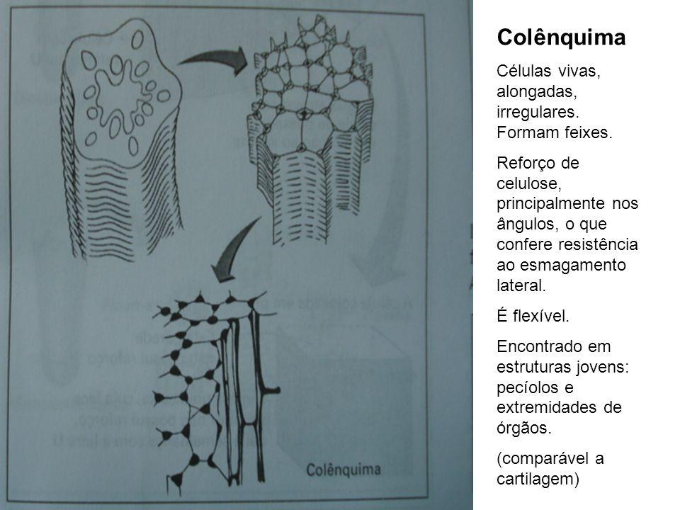Colênquima Células vivas, alongadas, irregulares. Formam feixes.