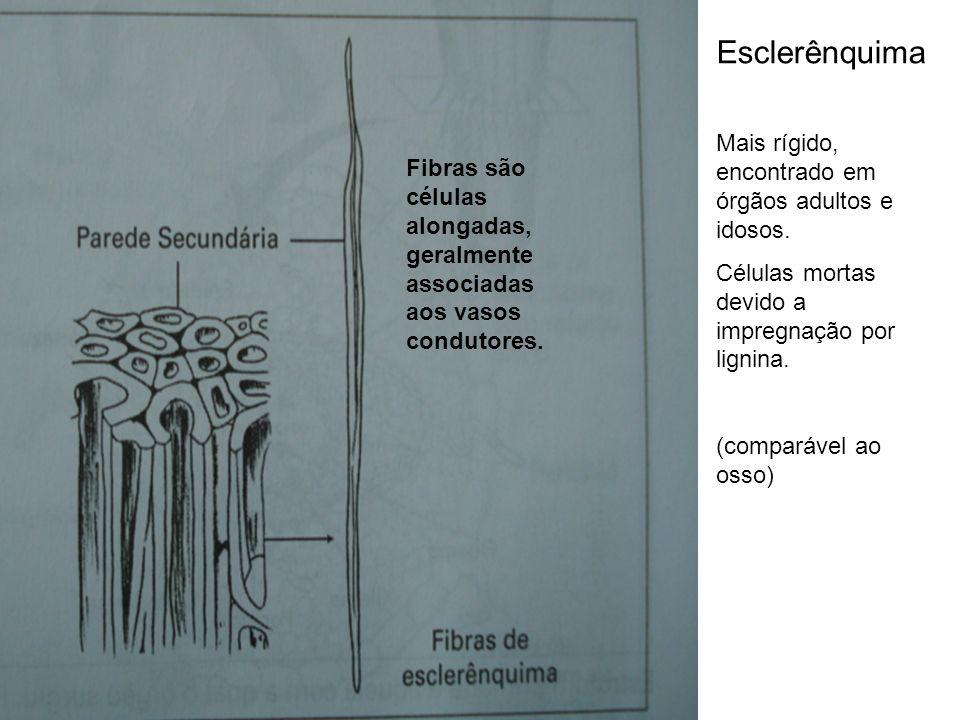 Esclerênquima Mais rígido, encontrado em órgãos adultos e idosos.