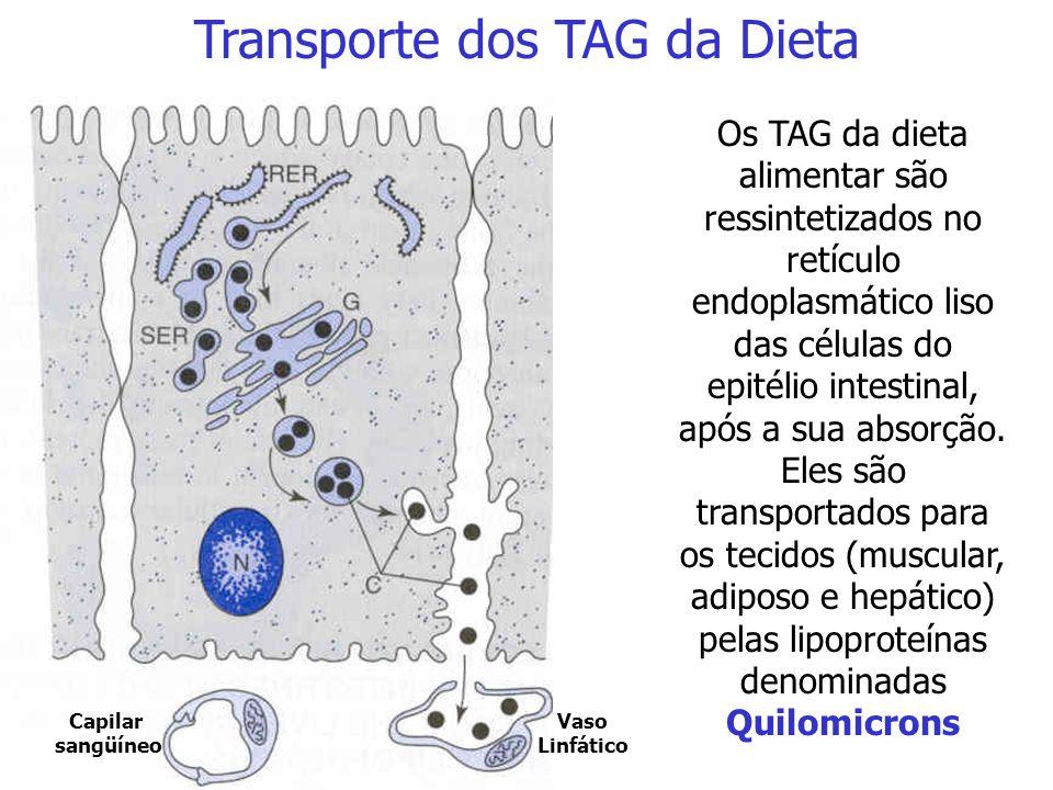 Transporte dos TAG da Dieta