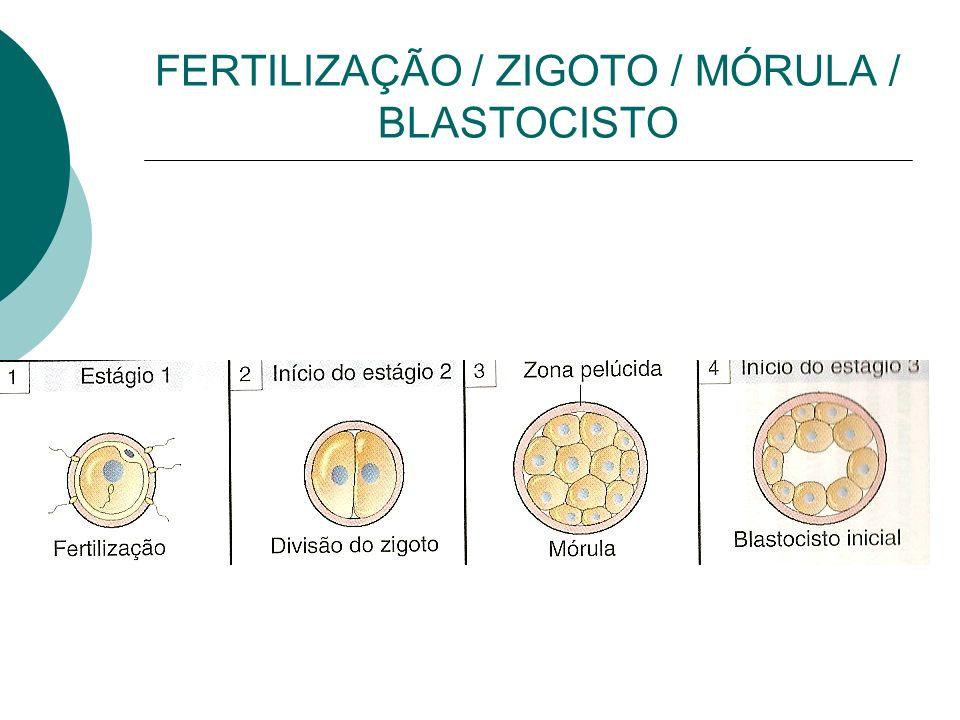 FERTILIZAÇÃO / ZIGOTO / MÓRULA / BLASTOCISTO