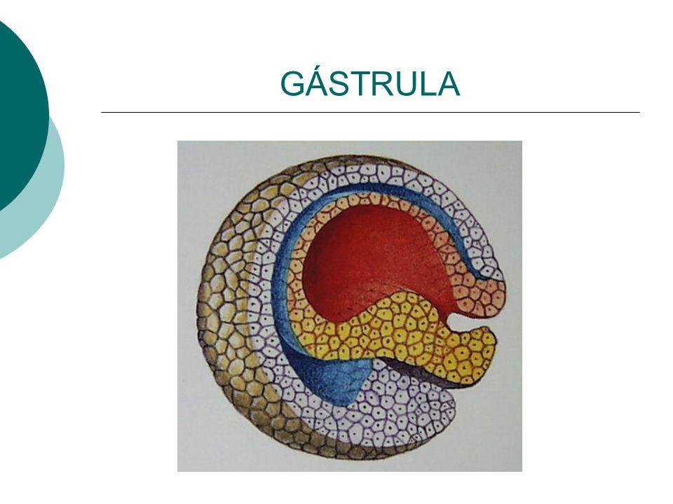 GÁSTRULA