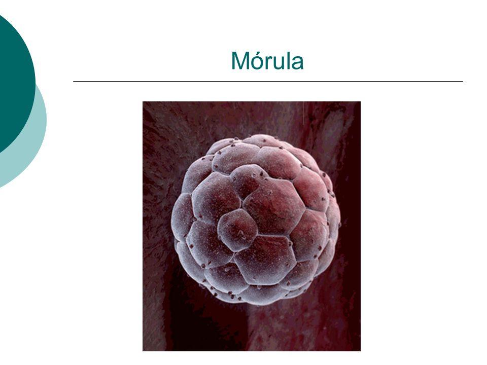 Mórula