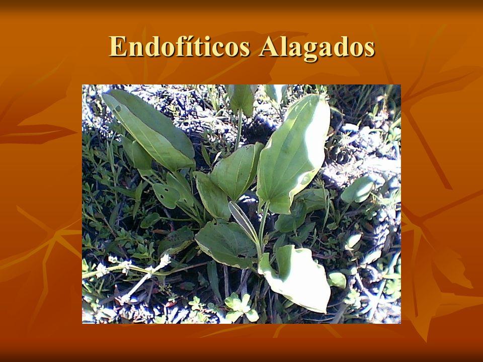 Endofíticos Alagados