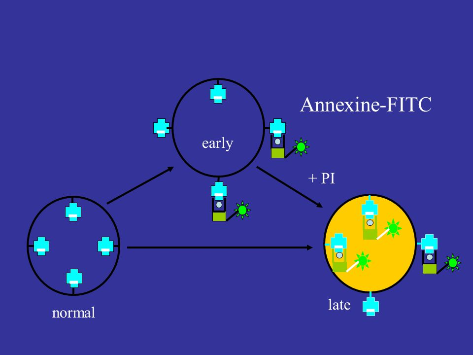 - - - Annexine-FITC early + PI late normal