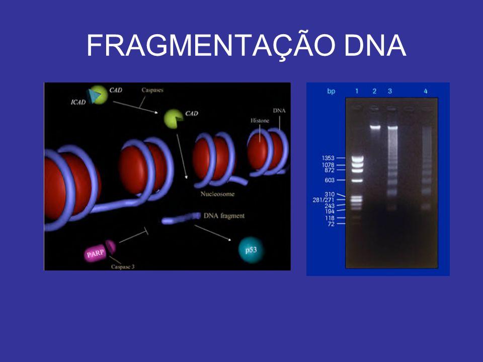 FRAGMENTAÇÃO DNA