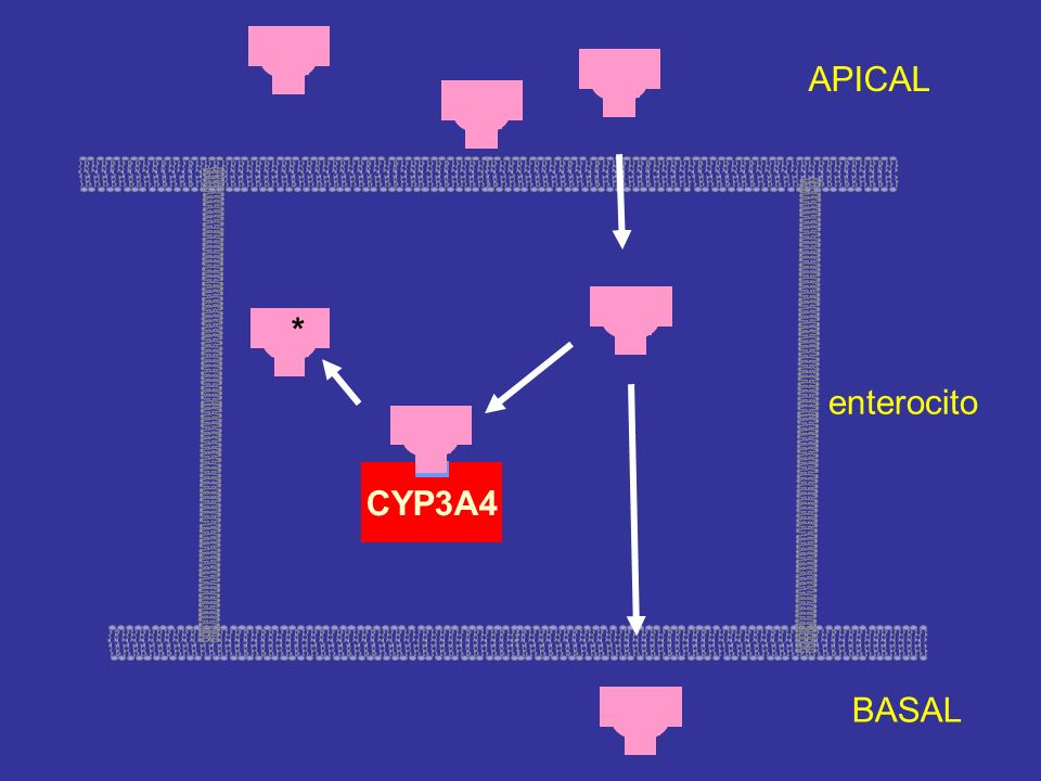APICAL * enterocito CYP3A4 BASAL