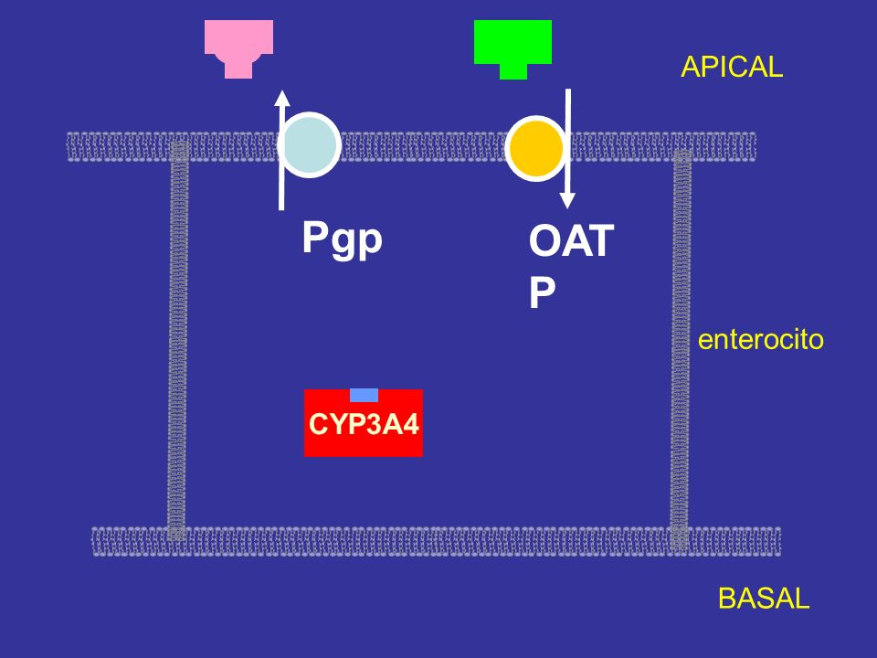 APICAL Pgp OATP enterocito CYP3A4 BASAL