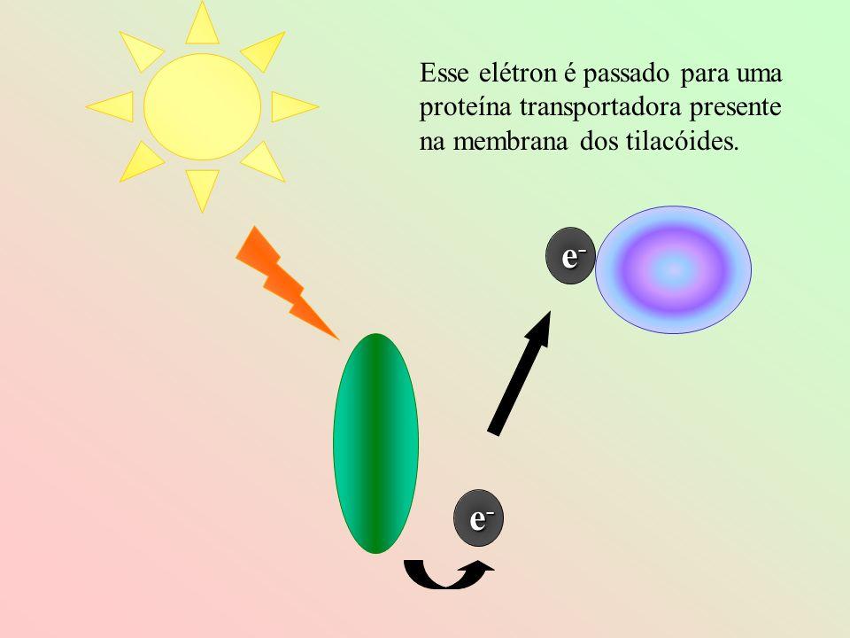 Esse elétron é passado para uma proteína transportadora presente na membrana dos tilacóides.