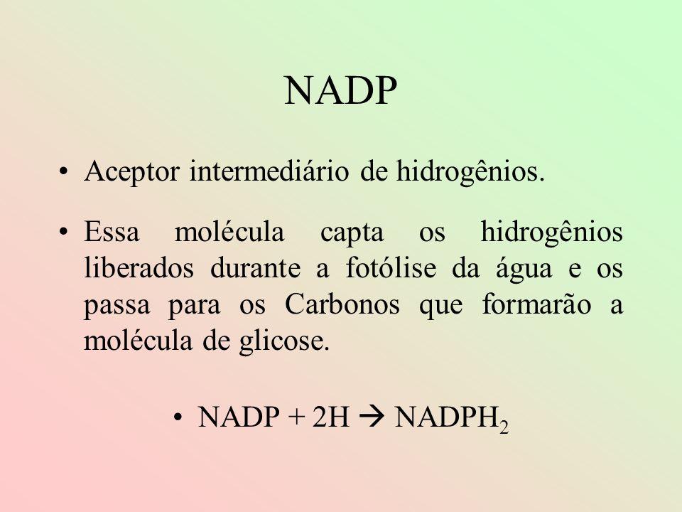NADP Aceptor intermediário de hidrogênios.