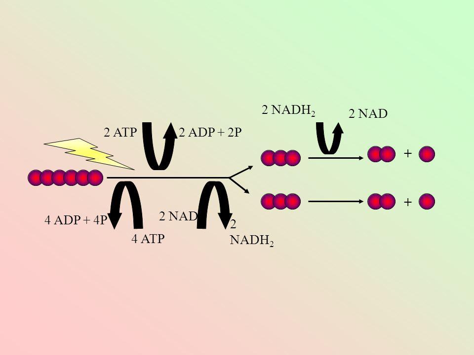 2 NADH2 2 NAD 2 ATP 2 ADP + 2P + + 2 NAD 4 ADP + 4P 2 NADH2 4 ATP