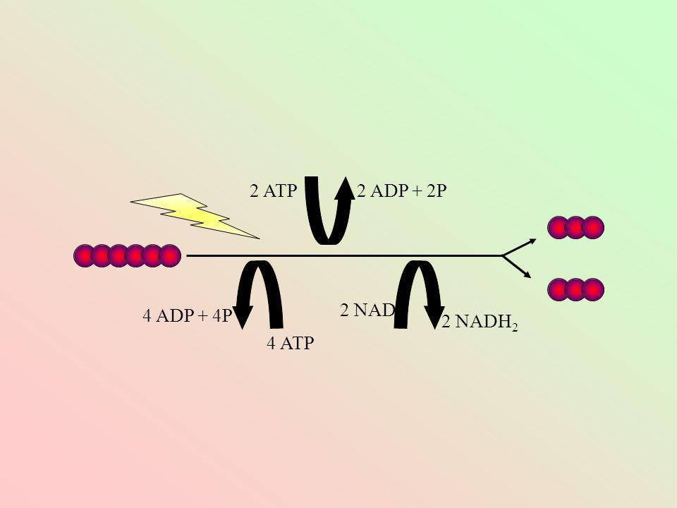 2 ATP 2 ADP + 2P 2 NAD 4 ADP + 4P 2 NADH2 4 ATP