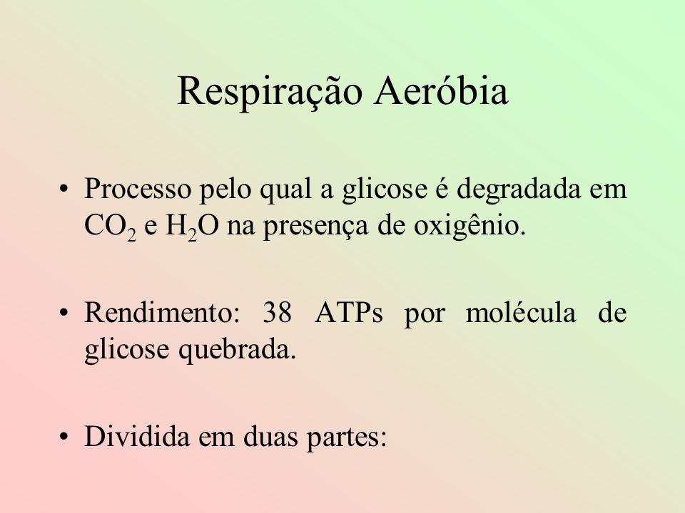 Respiração AeróbiaProcesso pelo qual a glicose é degradada em CO2 e H2O na presença de oxigênio.