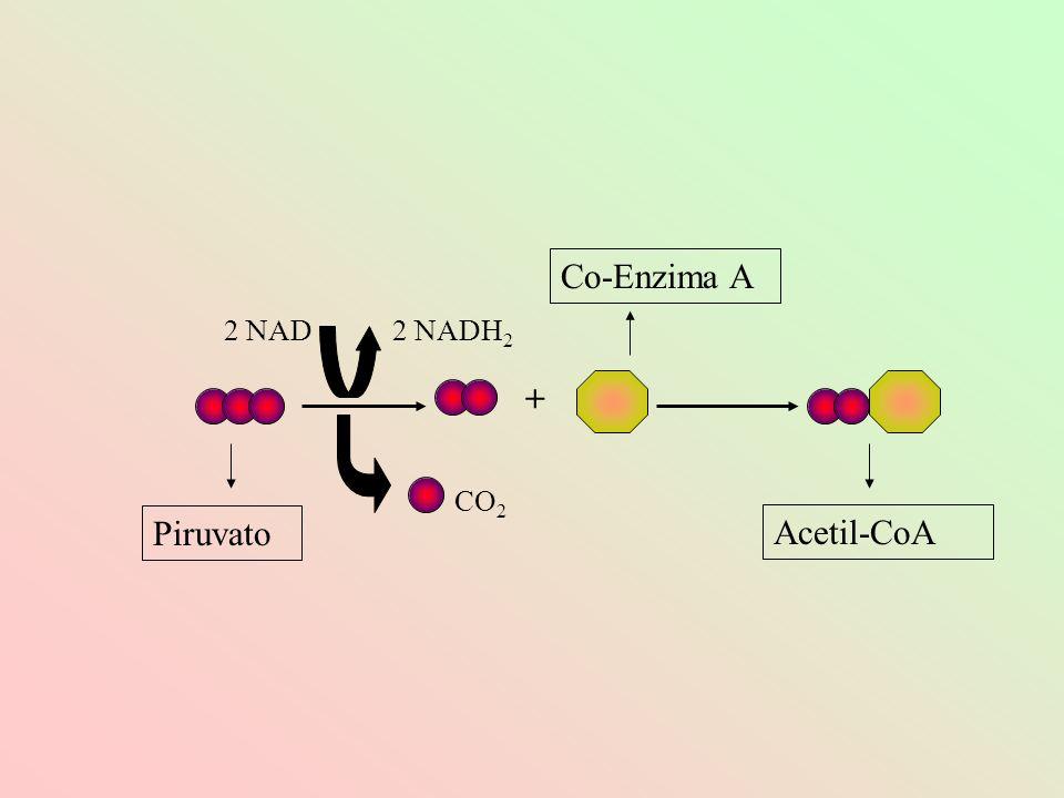 Co-Enzima A 2 NAD 2 NADH2 + CO2 Piruvato Acetil-CoA