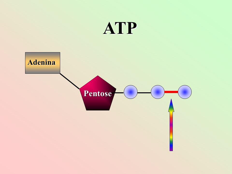 ATP Adenina Pentose