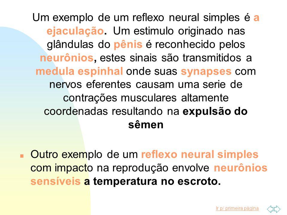 Um exemplo de um reflexo neural simples é a ejaculação